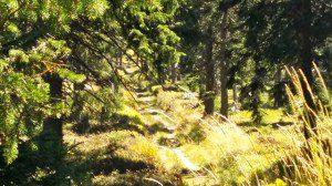 lesni cesta